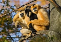 White cheeked gibbon saving