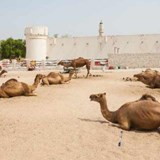 Camels Doha Lifestyle